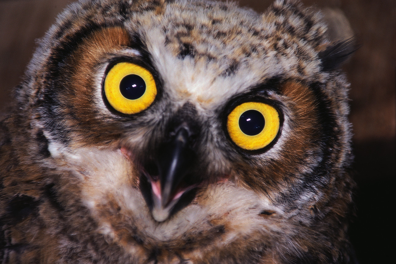 Face of Great Horned Owl
